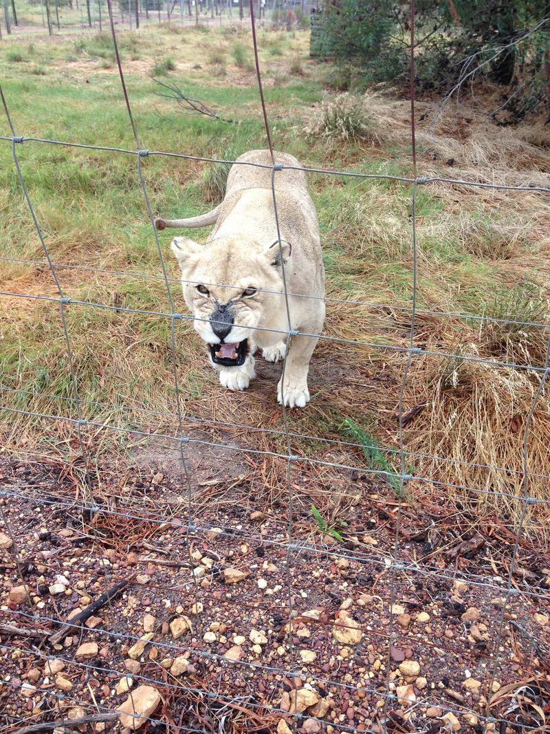 Simba Lion Growling